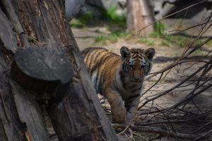 Baby tiger in Novosibirsk zoo.