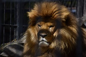 Grumpy lion father in Novosibirsk zoo.