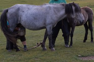 Nomadic family milking a mare in Mongolia.