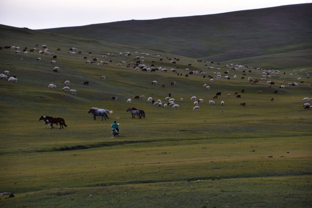Nomadic man moving a herd by motorcycle in Mongolia.