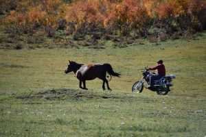 Our guide moving a horse by motorcycle.