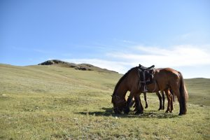 Our semi-wild Mongolian horses.