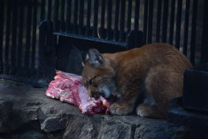 Siberian Lynx enjoying some meat in Novosibirsk zoo.