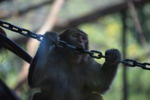 Bored monkey biting a chain in Beijing Zoo