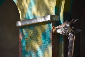 Giraffe licking a colorful wall in Beijing Zoo