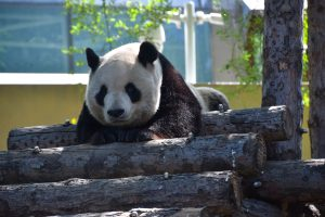 Happy panda in Beijing Zoo