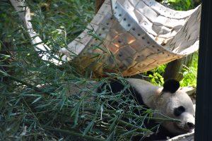 Sleepy panda in Beijing Zoo